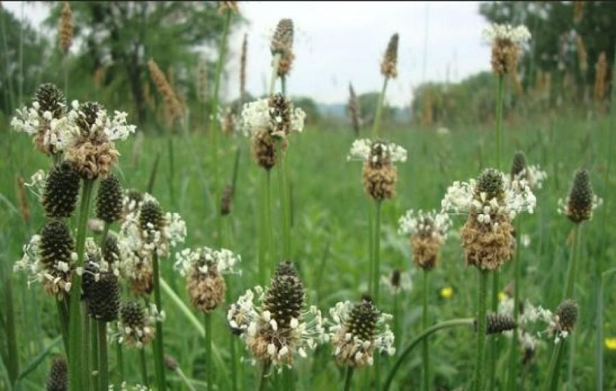 Utak mentén keresd ezt a csodálatos gyógynövényt!